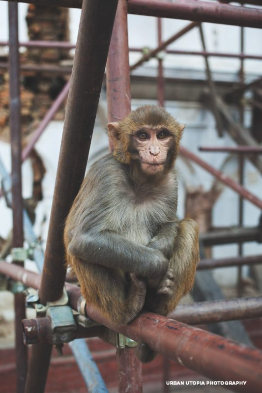 Monkey - Kathmandu